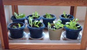 lettuce living again