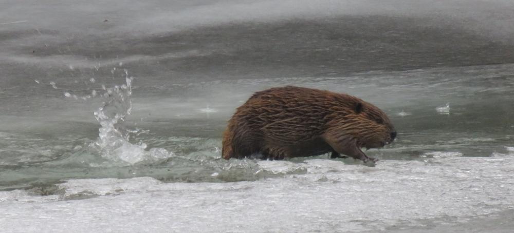 Bitterroot Beaver 1