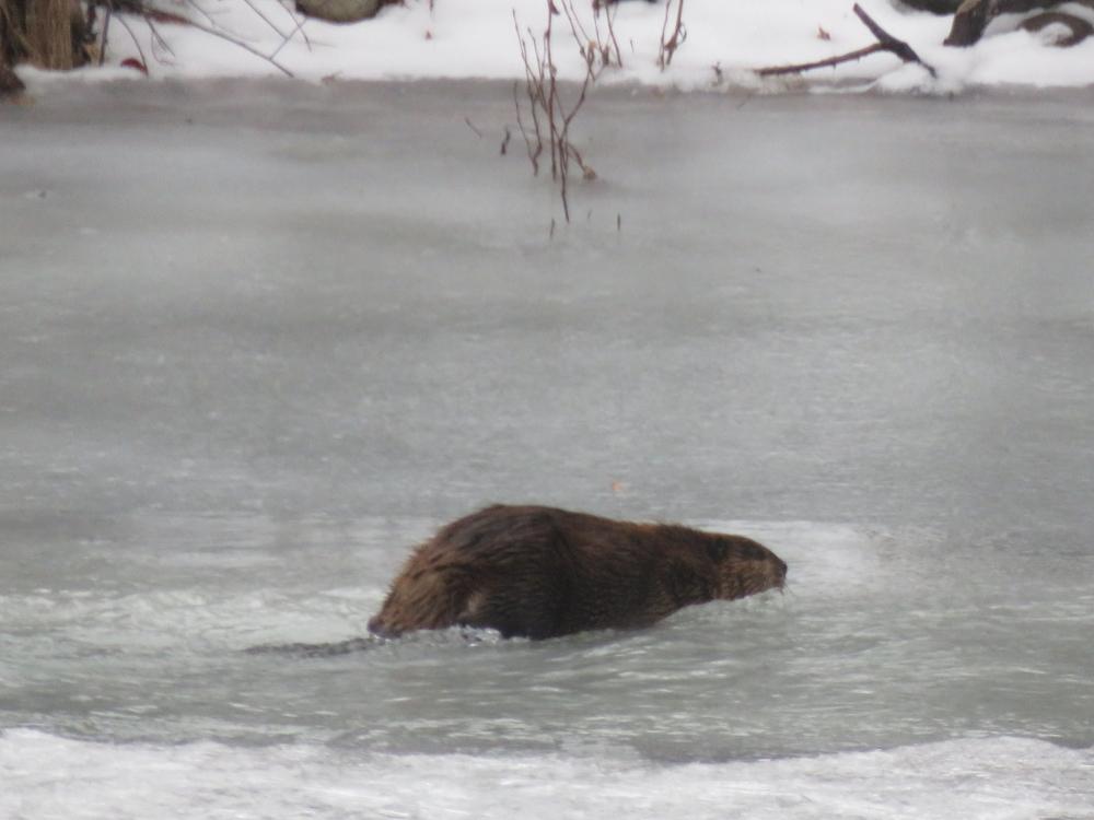 Bitterroot Beaver 2